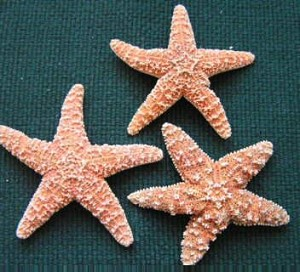 Small Sugar Starfish 4-6""